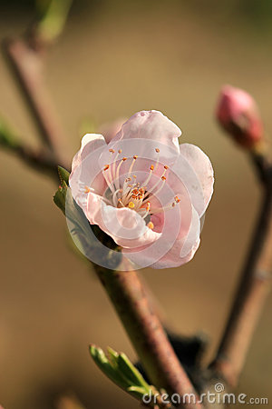 Free Flowering Pink Blooms Of Peach Royalty Free Stock Images - 61033289