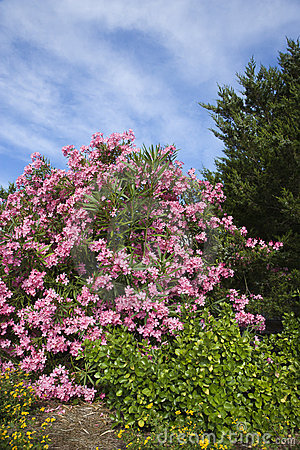 Free Flowering Pink Oleander Bush. Stock Images - 2038124