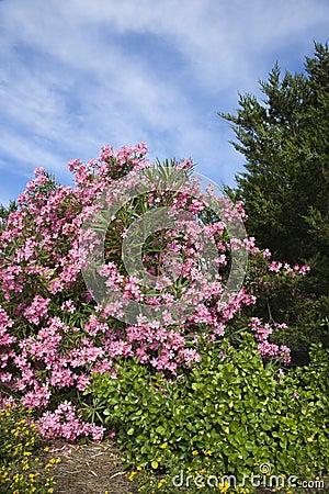 Flowering pink Oleander bush.