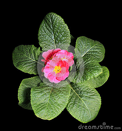 Flowering pink primula on the black background