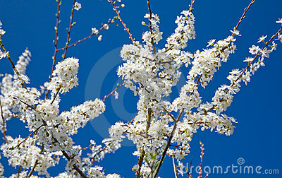 Flowering plum branch against blue background