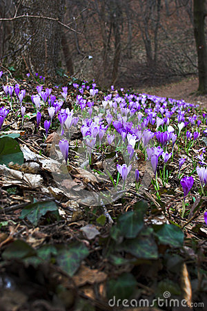 Free Flowering Purple Saffron Crocus Flower Royalty Free Stock Images - 48038169