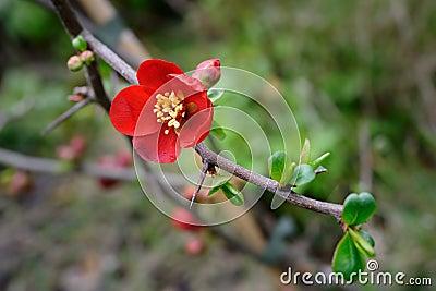 Flowering quince (Chaenomeles x superba)