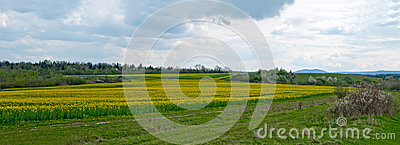 Flowering rapeseed Stock Photo
