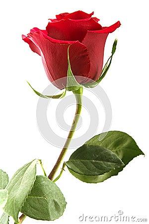 Free Flowering Rose Royalty Free Stock Photo - 2384425