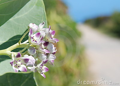Flowering Seagrape plant road to the ocean