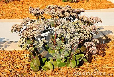 Flowering Sedum Matrona
