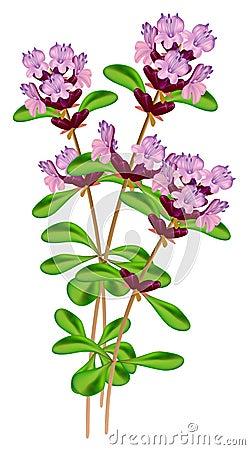 Flowering thyme.