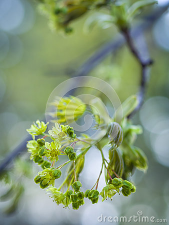 Flowering tree branch