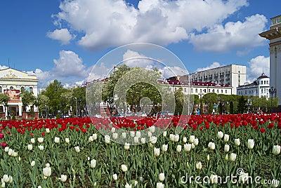 Flowering of tulips