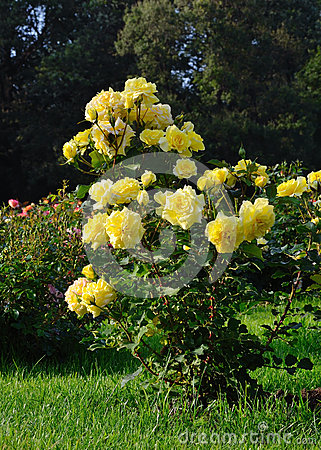 Free Flowering Yellow Roses In The Garden Stock Images - 78997934