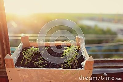 Flowerpot grass