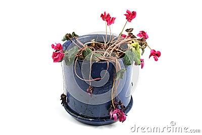 Flowerpot of wilted flowers