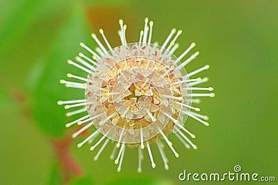 Flowers(Adina rubella)