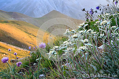Flowers in an alpine slope