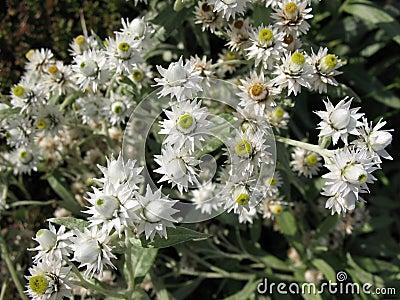 Flowers Anaphalis margaritacea.