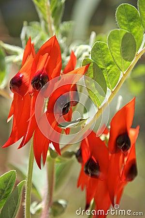 Flowers,Australia