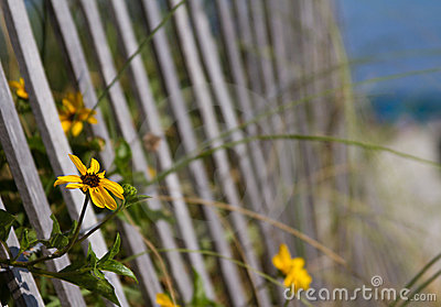 Flowers by the beach fence