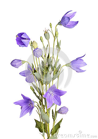 Free Flowers, Buds And Leaves Of Balloon Flower On White Stock Photos - 31572893
