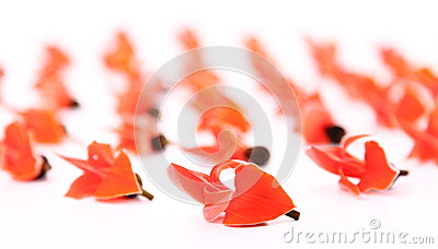 Flowers of Butea monosperma