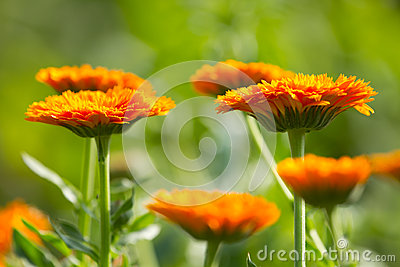 Flowers of calendula