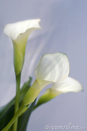 Free Flowers Calla Stock Image - 11302111