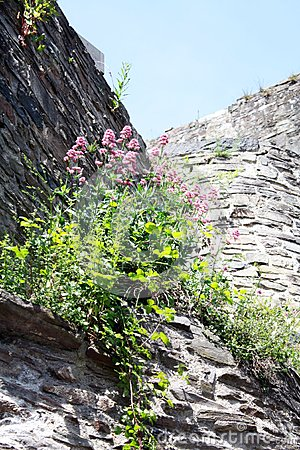 Flowers on a castle wall