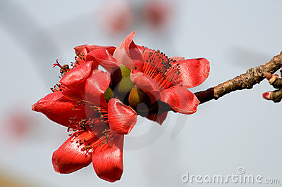Flowers of ceiba