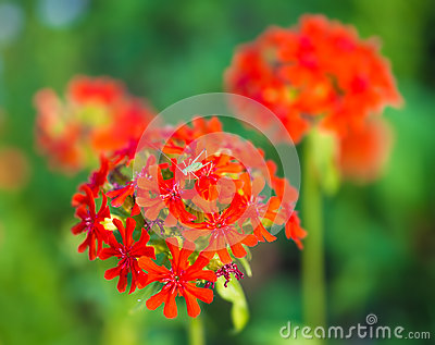 The flowers of charming  red carnations with small grasshopper