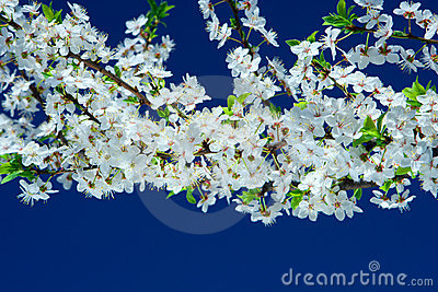 Flowers of cherry tree