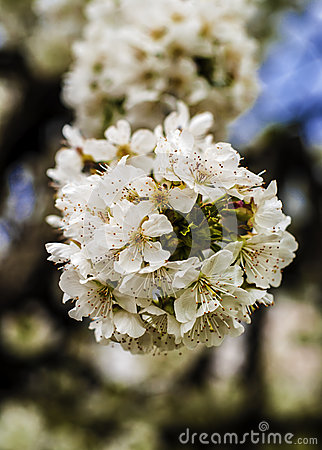 Flowers of cherry