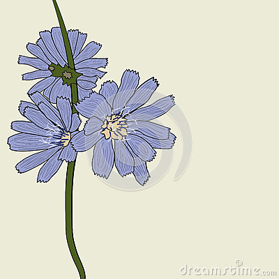 The flowers of chicory