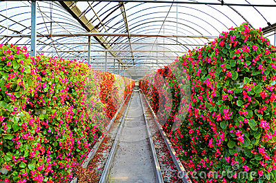 Flowers cultivated in greenhouses