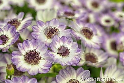 Flowers of dahlia