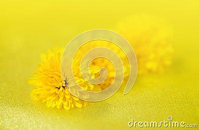 Flowers dandelion