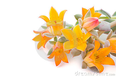 Flowers of echeveria
