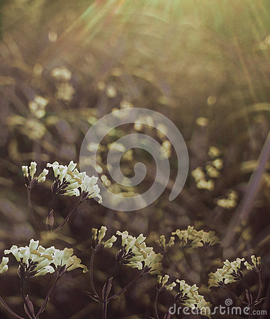 Free Flowers Forest. Floral  Beautiful Background. White Flowers Bloom In A Clearing In The Sunshine At Sunset On A Summer Day. Royalty Free Stock Photos - 95648338