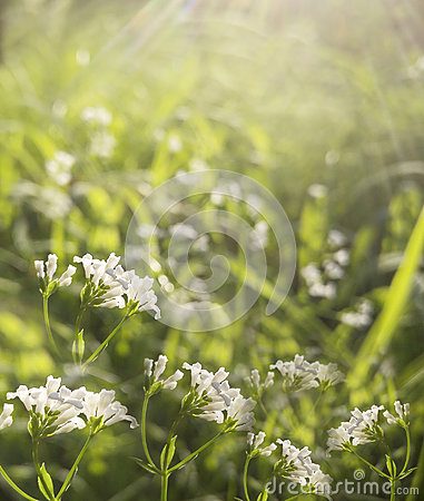 Free Flowers Forest. Floral Beautiful Background. White Flowers Bloom In A Clearing In The Sunshine At Sunset On A Summer Day. Royalty Free Stock Image - 95648486
