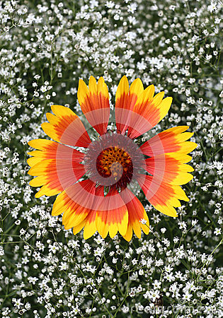 Flowers gaillardia and gypsophila.