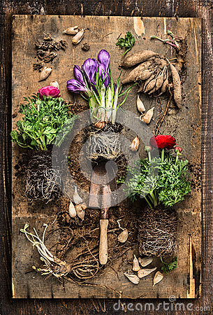 Free Flowers Gardening With Crocus, Buttercups, Scoop ,  Root And Bulbs On Rustic Wooden Background, Top Stock Photography - 50869132