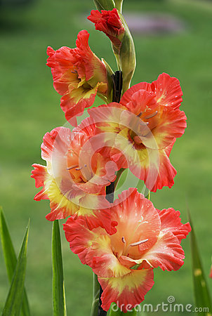 Free Flowers Gladiolus Royalty Free Stock Photography - 58442567