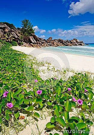Flowers on grande Anse beach in the seychelles