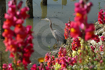 Flowers and Great Blue Heron