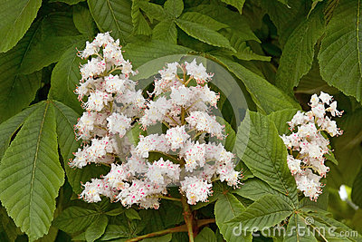 Flowers of horse chestnut