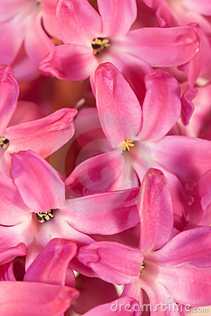 Flowers of hyacinth
