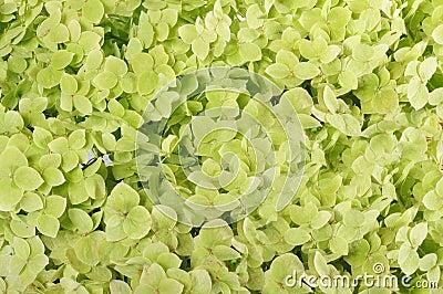Flowers of a hydrangea