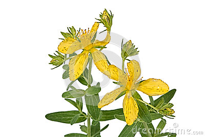 Flowers of Hypericum (Latin Hypericum)