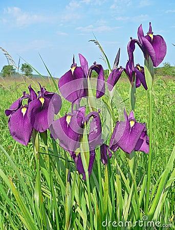 Flowers of Iris (Iris ensata)