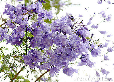 Flowers of jacaranda.