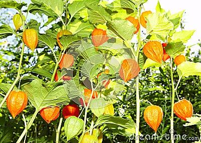 Flowers - lanterns